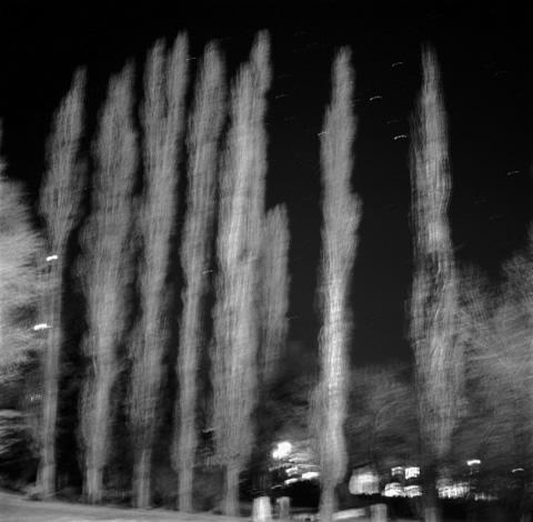 Poplar Trees, Santa Fe, New Mexico - Trees