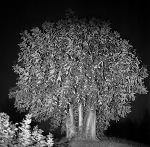 Ficus, Bermuda - Trees