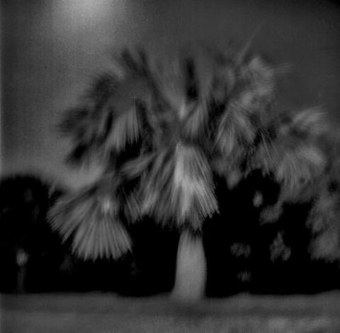 South Shore Palmetto, Bermuda - Trees
